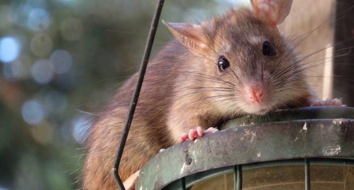 sıçan