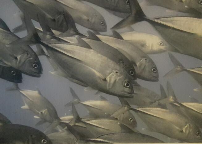 Sürü Halinde Balıklar