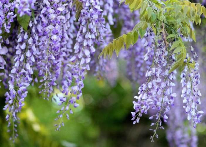 Morsalkım Çiçeği (Wisteria)