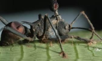zombi karınca
