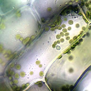 elodea leaf cell diagram tell tale heart plot structure this was alive and at 1000x magnification when it photographed