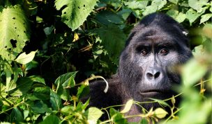 Luxury Rwanda Gorilla Adventure - Gorilla Trekking in Bwindi