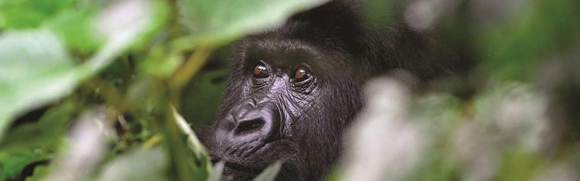 Nkuringo Safaris - Uganda Safaris, Rwanda Safaris & Gorilla Trekking Safaris, Honeymoon Safaris