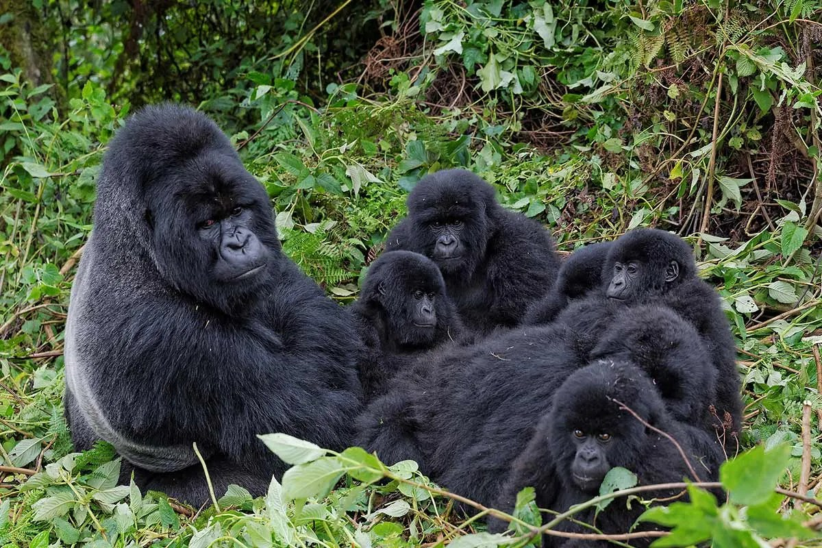 Silvrback Mountain Gorillas