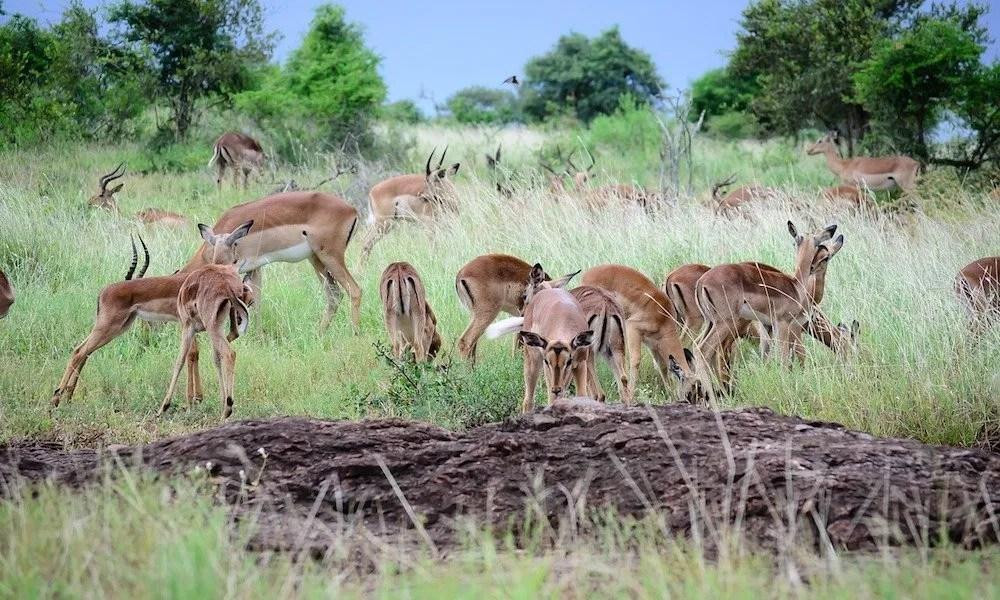 Impala, Uganda