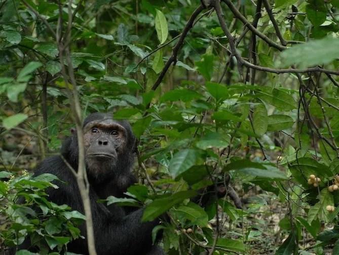 Chimp in Kibale Forest National Park