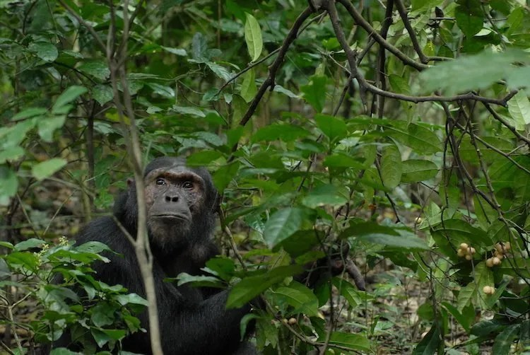 Chimp in Kibale Forest National Park