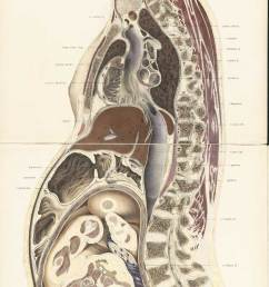 chromolithograph of pregnant female body cross section with the subject facing to the left  [ 1200 x 3273 Pixel ]