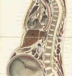 chromolithograph of pregnant female body cross section with the subject facing to the left  [ 1200 x 3322 Pixel ]