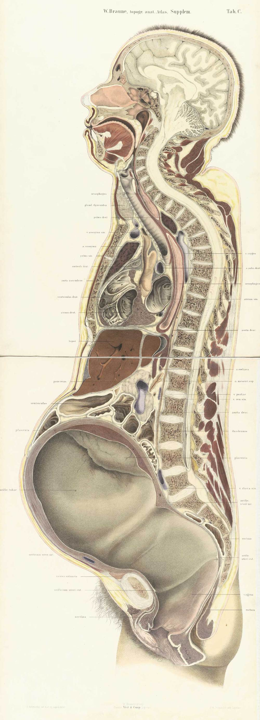 medium resolution of chromolithograph of pregnant female body cross section with the subject facing to the left