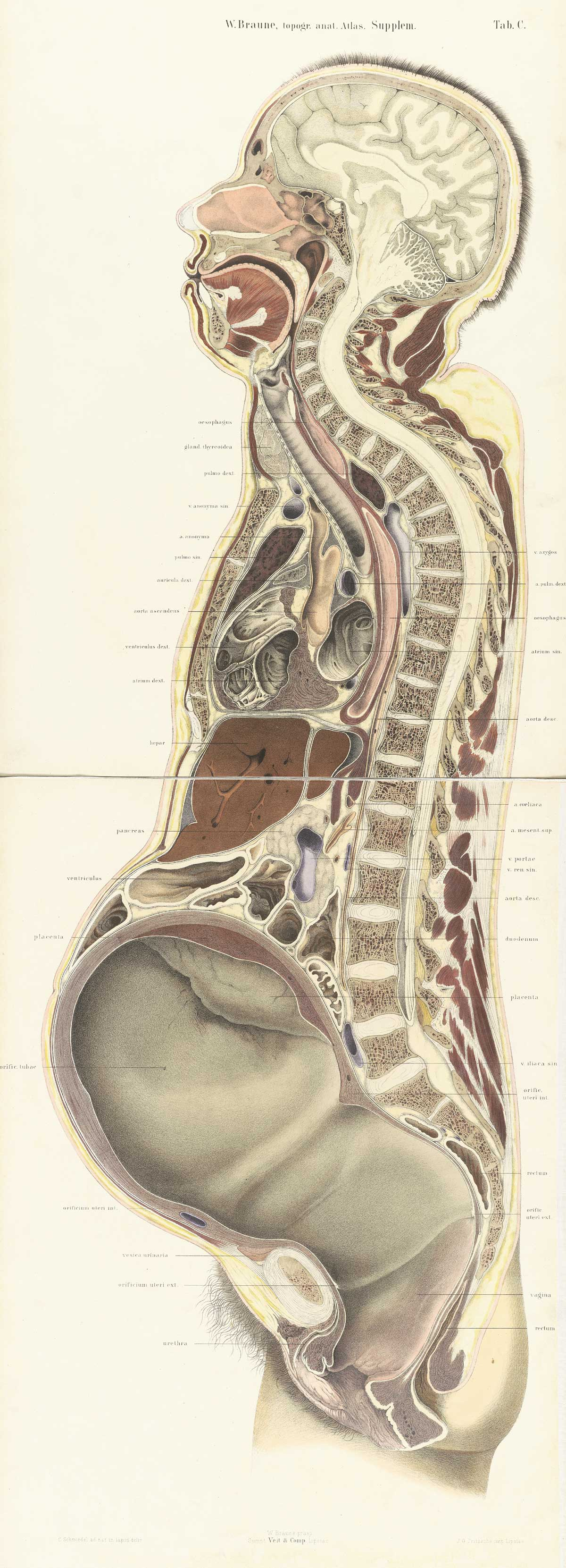 hight resolution of chromolithograph of pregnant female body cross section with the subject facing to the left