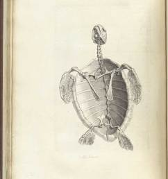 engraving of the skeleton of a water tortoise appearing to swim upward to the [ 1200 x 1647 Pixel ]