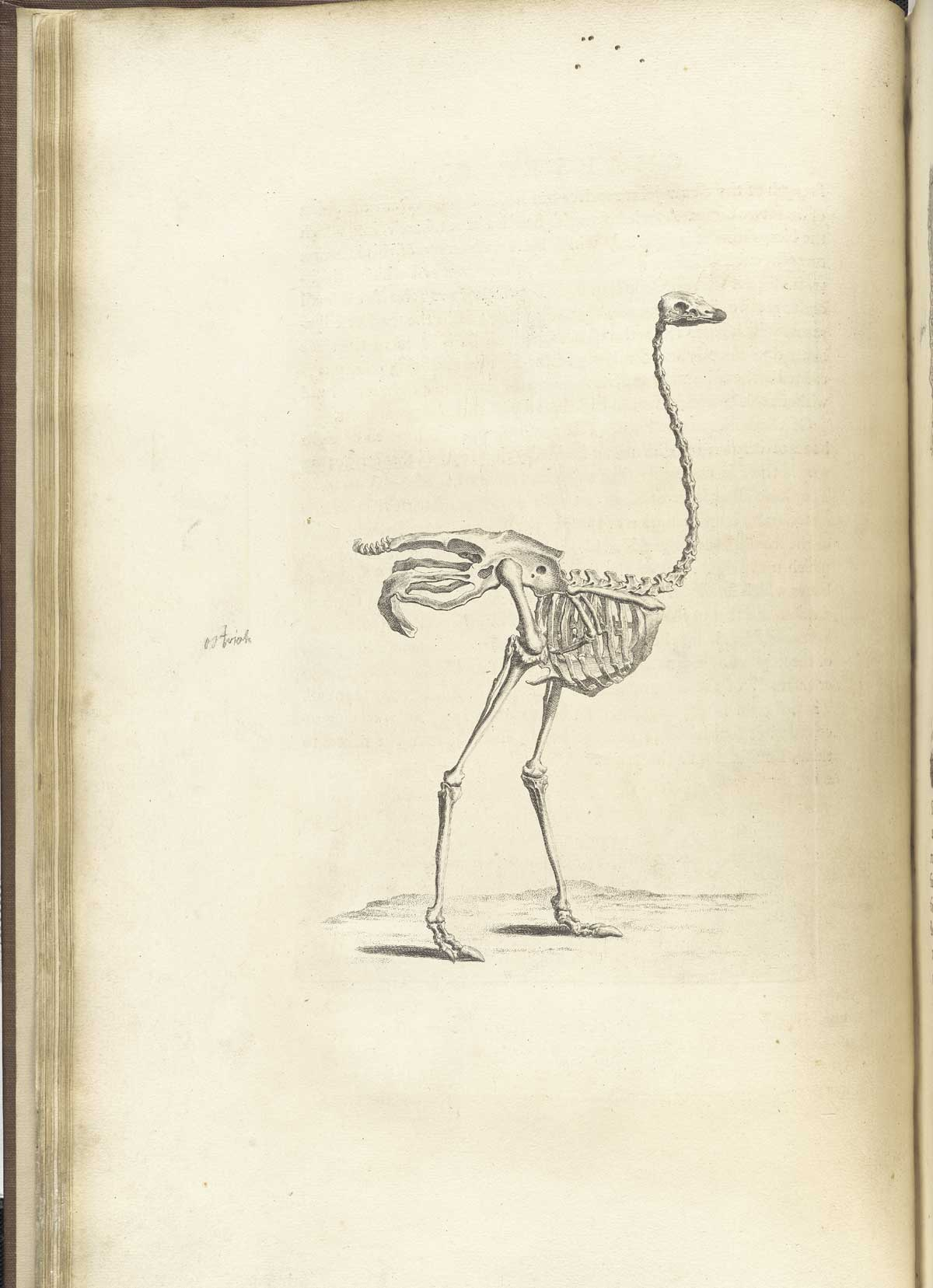 ostrich skeleton diagram obd2 to obd1 jumper harness historical anatomies on the web william cheselden home from s osteographia nlm call no wz 260 c499o
