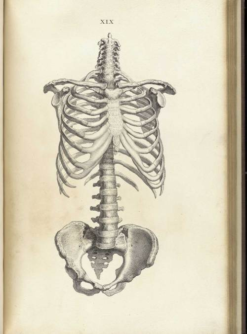 small resolution of engraving of the anterior view of the trunk of a skeleton including rib cage
