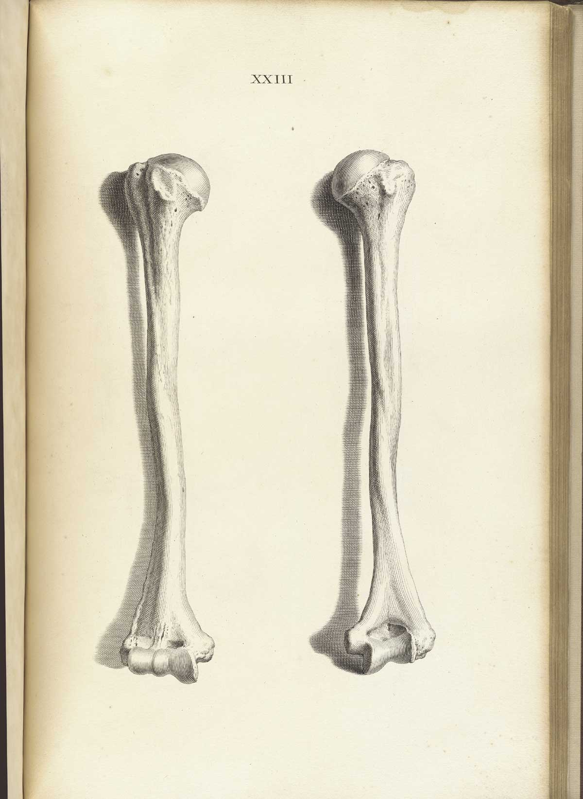 ostrich skeleton diagram boat anatomy historical anatomies on the web william cheselden home engraving of two humerus bones standing vertically side by showing anterior and posterior