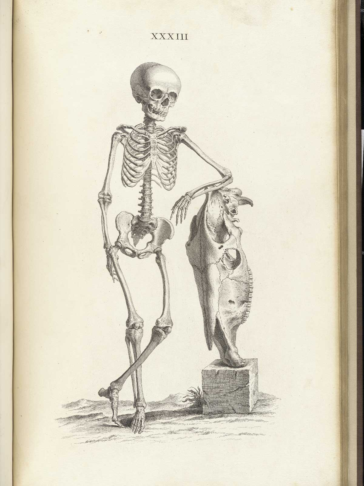 hight resolution of engraving of standing skeleton of a boy about nine years old leaning up against the skull