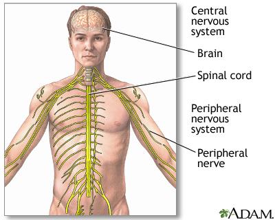 Central nervous system – Diagram | Multiple Sclerosis