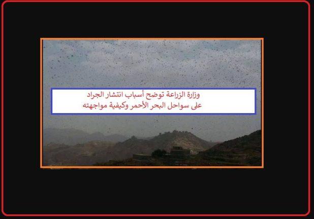 وزارة الزراعة توضح أسباب انتشار الجراد الصحراوي على سواحل البحر الأحمر وكيفية استعدادها له