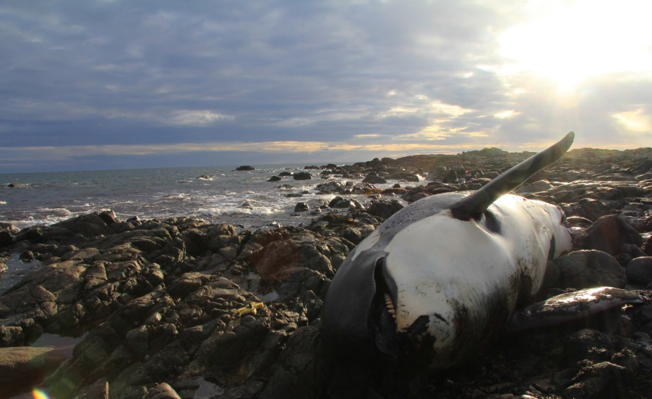 Lulu the orca lying dead on the rocky shore at Crossapol in Scotland