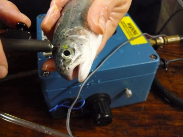 The Air Driven Elastomer Injection System is being used to inject yellow Visible Implant Elastomer Tags in the clear tissue behind the eye of Rainbow Trout.