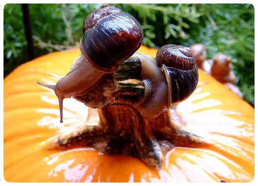 Organic garden pest control - snails on pumpkin