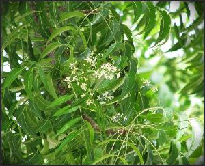 Neem Tree Benefits for Human Life