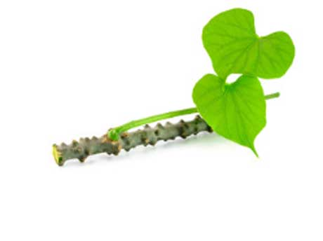 Giloy Benefits for Health and Best Way Use
