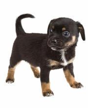 chihuahua smooth coat dog breed