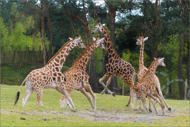 giraffe rennen beekse bergen