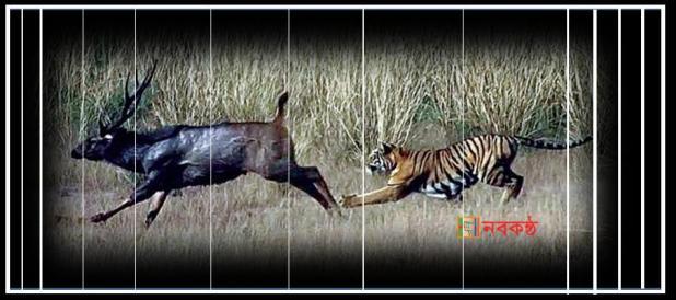tiger-deer