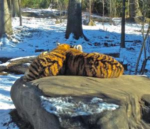 TigersAtBronxZoo