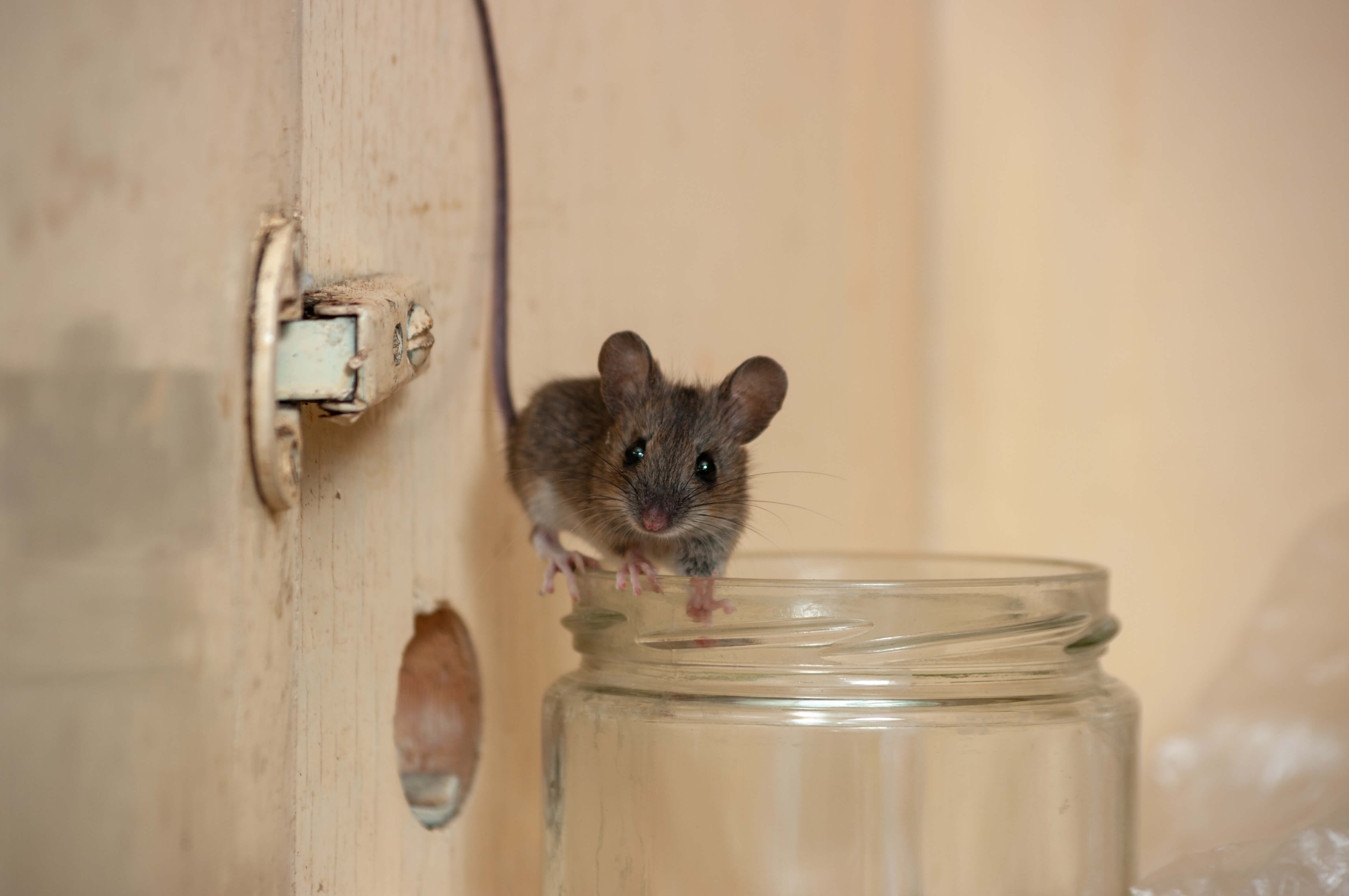 Mice and Rats - NOCO Pest & Wildlife Control