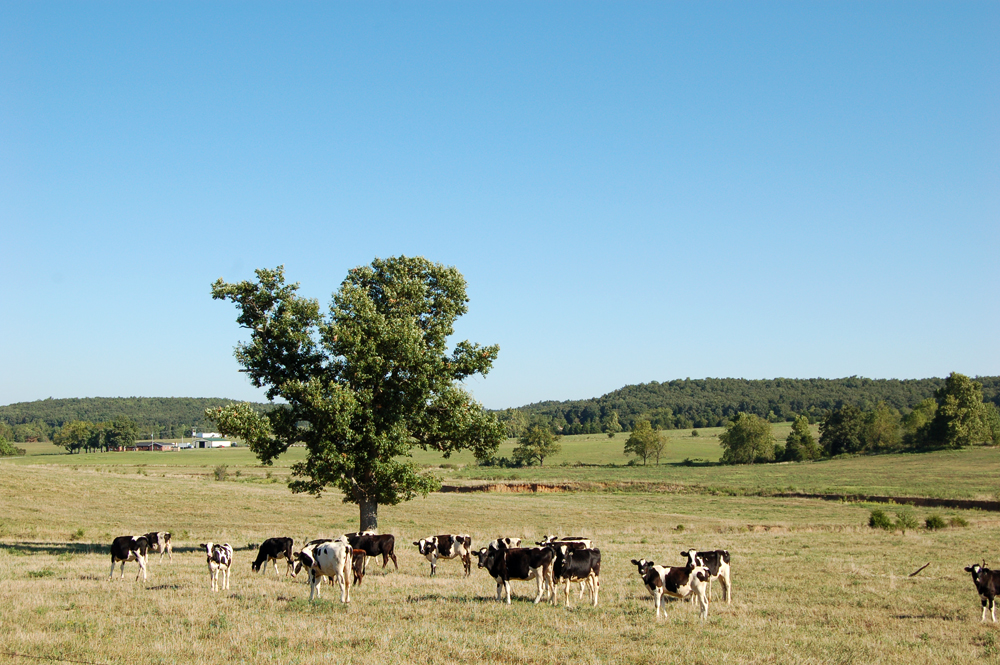 10_cows_blog