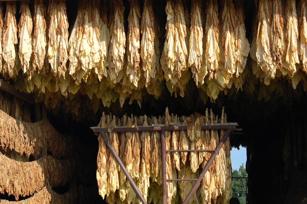 11_tobacco