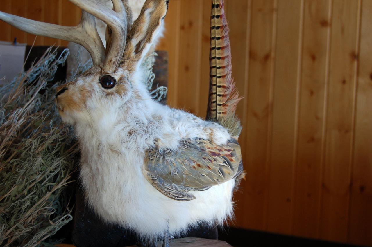 Jackalope, pheasant hybrid?