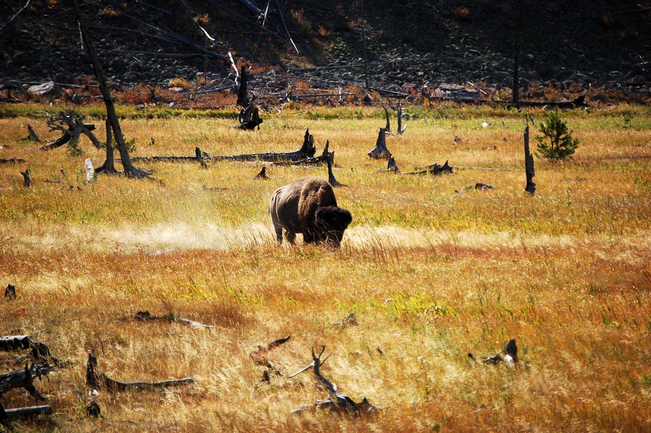 173_buffalo_13