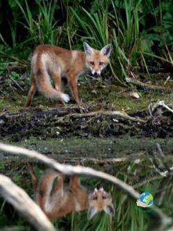 photo d'un renard à Cambrin