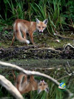 photo d'un renard à Cambrin