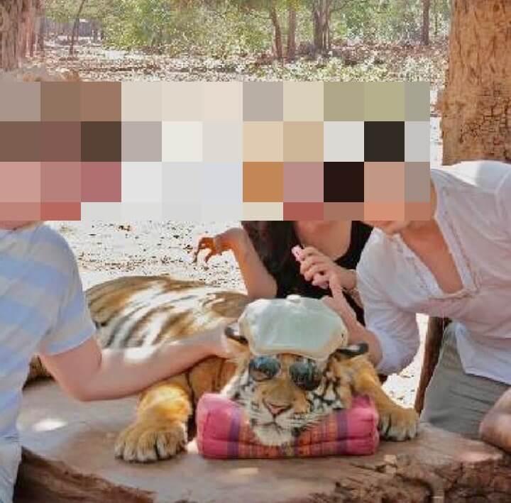 tiger selfie idiots