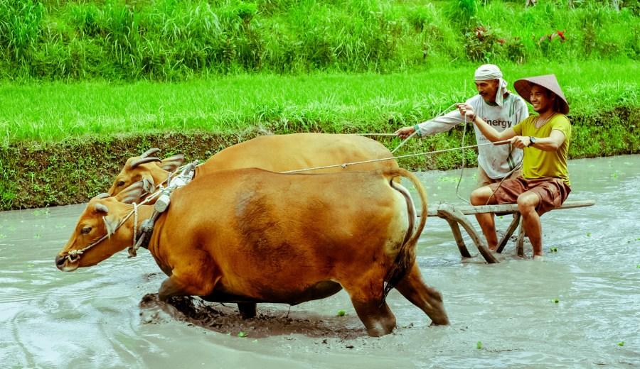 at-bali-rice-paddies-1-of-1