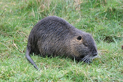 Nutria In wet, goodness or madness?