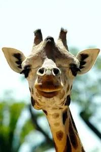 Giraffa-camelopardalis