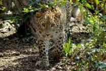 bioparco-Roma-leopardo-dell'Iran