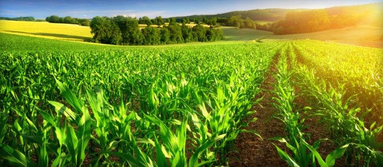 campo agricolo al mattino col sole