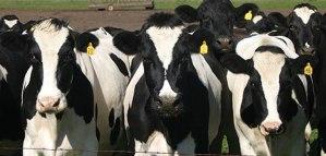 avviare-un-allevamento-di-bovini