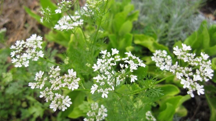 coriandolo da seme in fiore