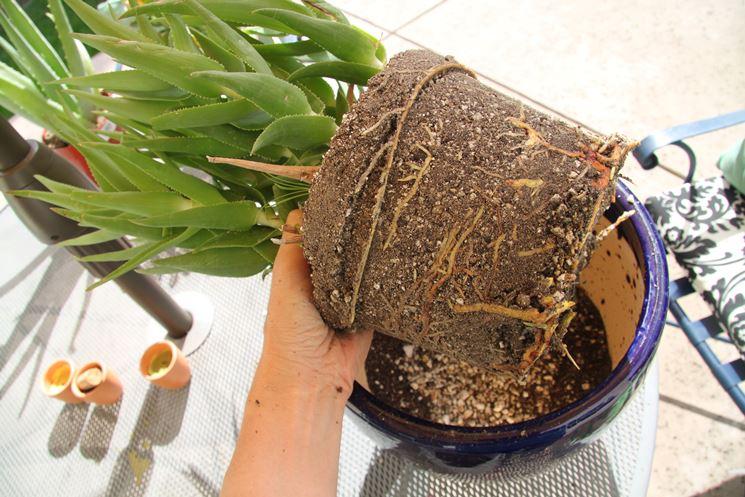 trapianto delle piante