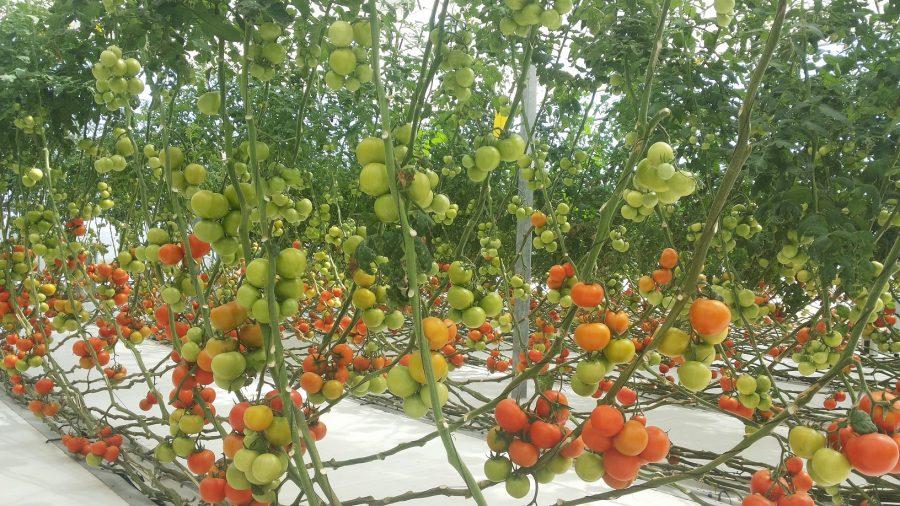 pomodori coltivati con la torre solare