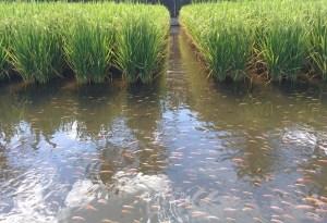 sistemi misti riso-pesce