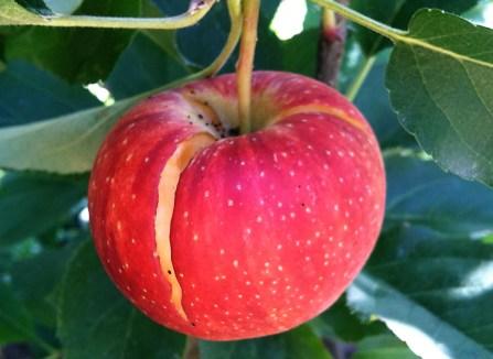 spaccatura frutti cracking